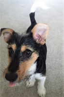 Anise - Jack Russell Wire Haired Terrier Puppy.