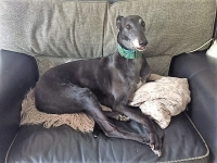 Mac - 11 Years Old - Greyhound, Black With Ageing Grey.