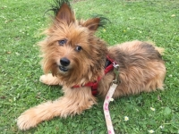 Angel - 'Shorkie' (Shihtzu and Yorkshire Terrier Cross).