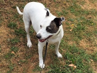 Purdy - 9 Years Old - Staffordshire Bull Terrier/Whippet Cross.