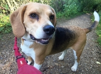 Bruno - 4 Years Old - Beagle.