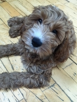 Barney - 3 Months Old - Cockapoo.