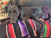 Bob - 4 Years Old - Greyhound, Black With White Chest Fleck.