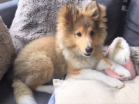 Teddy - 16 Weeks Old - Shetland Sheepdog: 'Sheltie'.