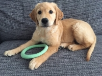 Koa - 10 Weeks Old - Golden Retriever.